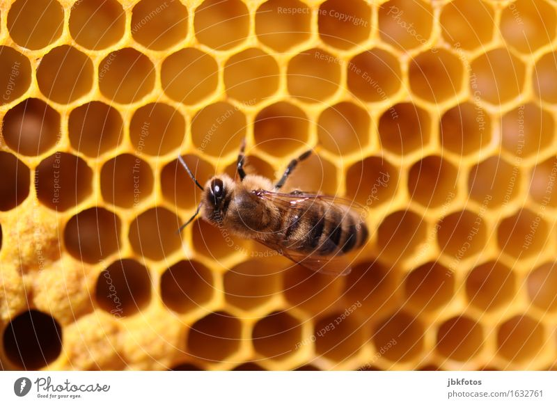 Bauabnahme Lebensmittel Ernährung Umwelt Natur Schönes Wetter Tier Nutztier Honigbiene 1 Schwarm Tierjunges heiß trendy einzigartig Wachs Bienenwaben Gelege Ei