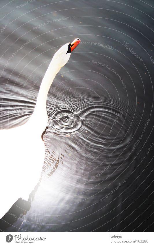 Schwanensee Wasser weiß Sommer Sonne See Schwimmen & Baden Vogel Wellen Wassertropfen Tropfen Im Wasser treiben Blase Schwan Überbelichtung