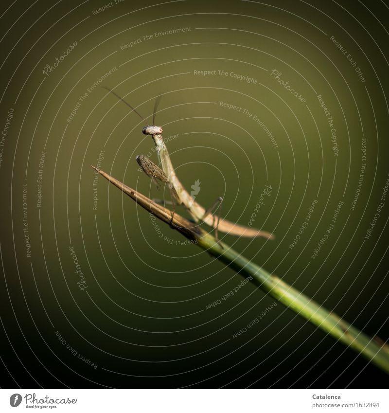 Kleinste Gottesanbeterin Umwelt Natur Tier Feld Wald Wildtier Insekt Fleischfresser 1 beobachten elegant Erfolg klein braun grün Ausdauer Armut Neugier Farbfoto