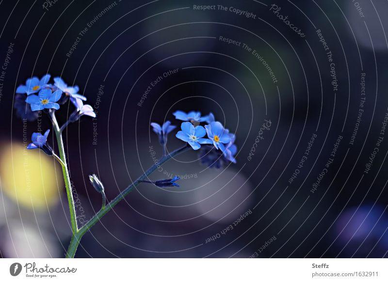 blau im Mai Umwelt Natur Pflanze Frühling Blume Blüte Vergißmeinnicht Blütenpflanze Blütenblatt Gartenpflanzen Frühlingsblume Park Blühend Wachstum klein
