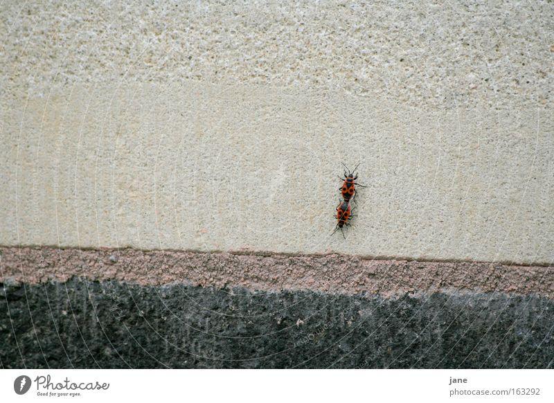 MauerLiebelei Käfer Fortpflanzung Wanze umgänglich Feuerwanze Nymphe schwarz-rot Halbflügler Feuerkäfer