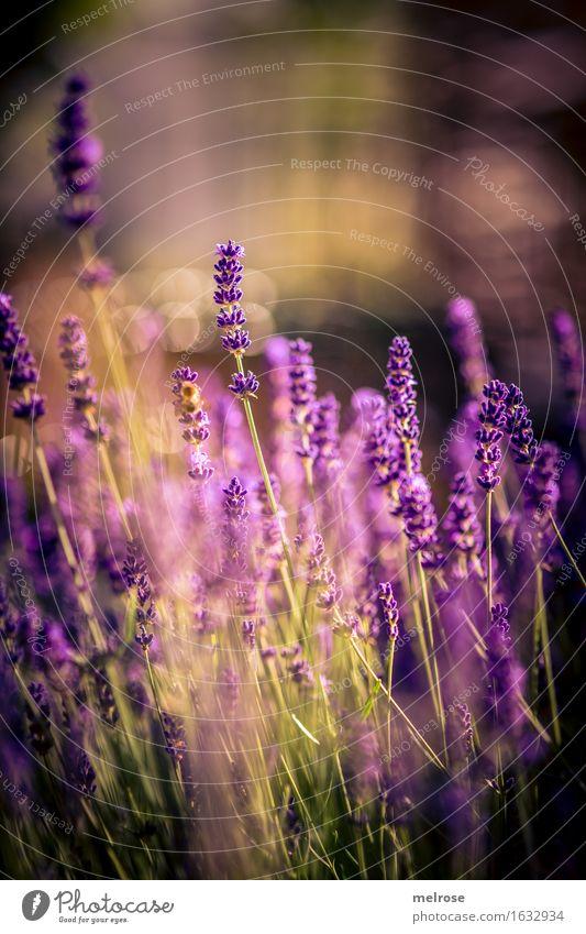 Licht-LAVENDEL Kräuter & Gewürze elegant Stil Natur Pflanze Erde Frühling Schönes Wetter Sträucher Blüte Wildpflanze Lavendel Blütenstiel Blütenpflanze Garten