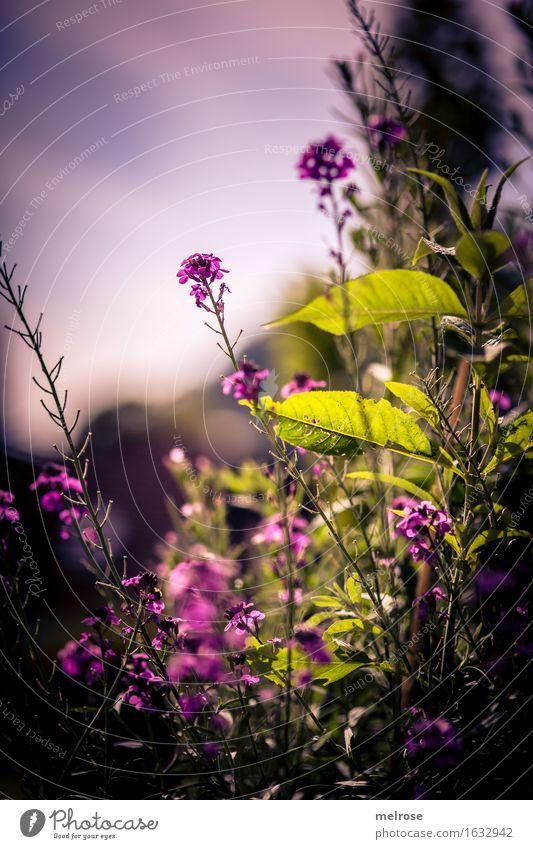 Abendlicht elegant Stil Natur Sommer Schönes Wetter Pflanze Blume Gras Sträucher Blatt Blüte Grünpflanze Wildpflanze Blütenknospen Blütenstiel Blütenstauden