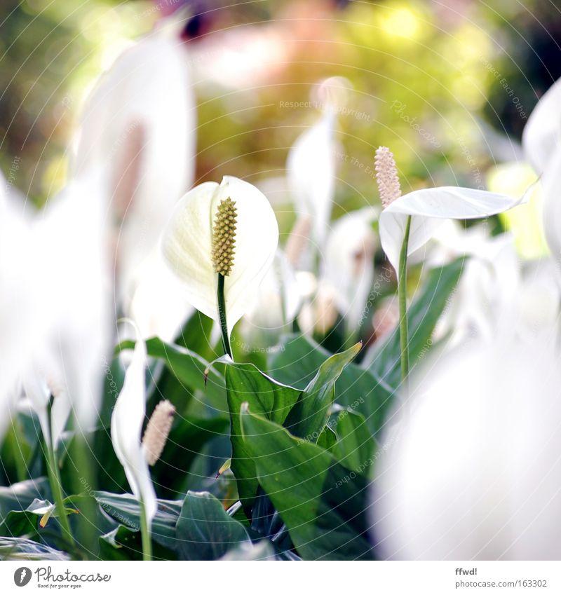 tropical flow Blume Pflanze Spatiphyllum weiß grün tropisch zart Blüte Stengel Wachstum Park schön