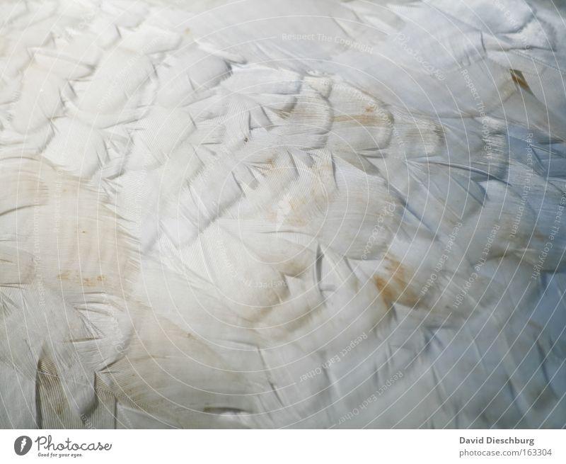 Zukünftiges Kopfkissen weiß Tier Vogel Hintergrundbild dreckig Feder Flügel Lebewesen leicht Pfau Makroaufnahme Pfauenfeder