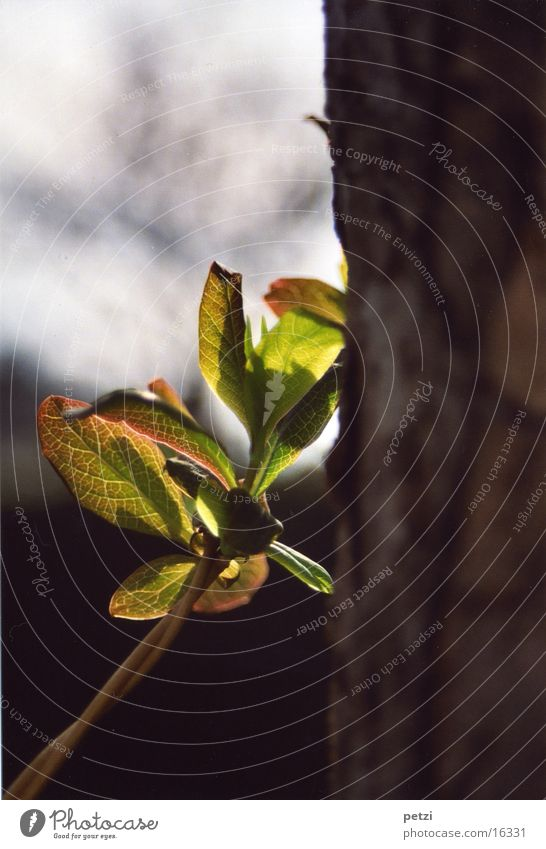 Anlehnung wuchtig frisch Blatt Lichteinfall hell Baumstamm Trieb neu Blattnarben anlehnen gestützt