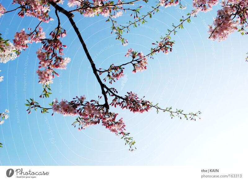 [Harusaki|DD] Es Blüht der Kirschbaum Himmel Blüte Kirsche Ast blau rosa Sonne Obstbaum Frühling Kirschblüten