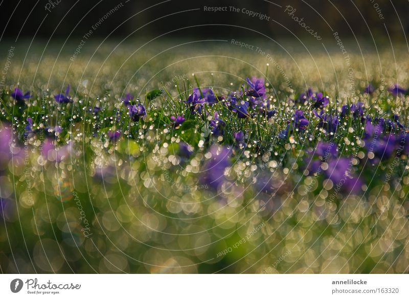Veilchen im Morgentau Pflanze Wasser Blüte Frühling Wiese Gras Regen frisch Wassertropfen nass Rasen Tropfen zart Duft Duftveilchen Veilchengewächse