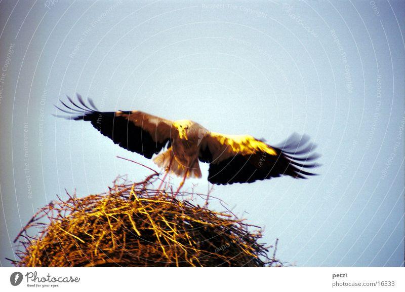 Storch im Anflug weiß Sonne schwarz gold Feder Flügel Flugzeuglandung Zweig Schnabel Nest Nestbau
