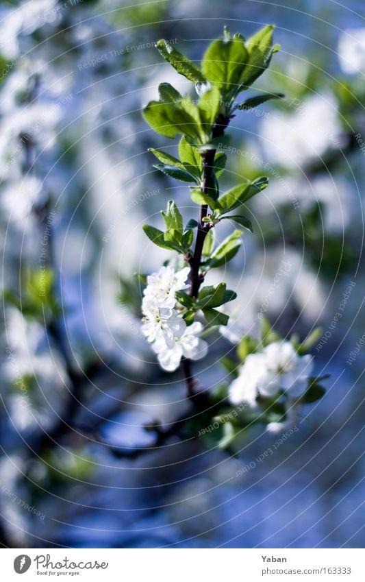 Frühling 1.4 Natur schön weiß Baum Blume grün Pflanze Blüte Frühling hell Kraft Umwelt ästhetisch Wachstum authentisch rein