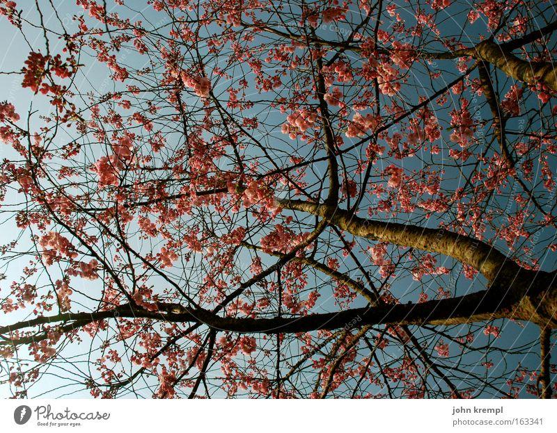 gertrud mitzu bischi himbeertoni Baum Leben Blüte Frühling Park Blühend Zweig Kirsche Zierkirsche