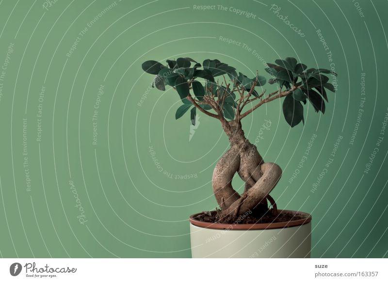 Bonsai Natur Pflanze grün Baum Blatt Leben Stil klein Kunst Design Zufriedenheit Freizeit & Hobby Dekoration & Verzierung Kultur Asien Botanik