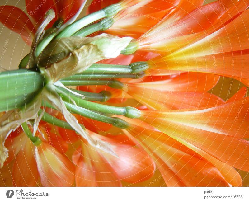 Clivia in voller Blüte Blume grün Blüte orange Stengel Amaryllisgewächse Farbenspiel Klivie