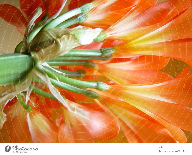 Clivia in voller Blüte Blume grün orange Stengel Amaryllisgewächse Farbenspiel Klivie