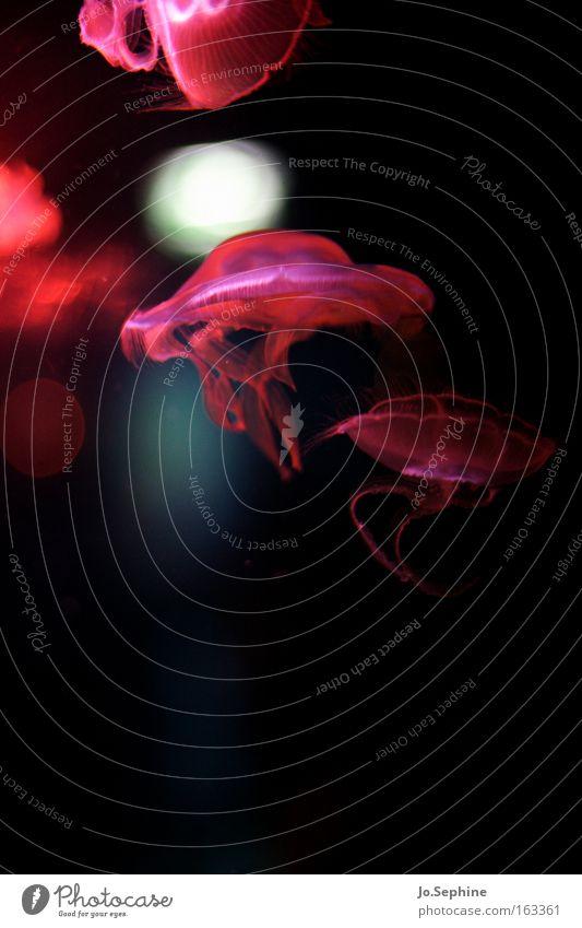 floating beauty II Wasser Meer Tier Stil Schwimmen & Baden rosa ästhetisch Unterwasseraufnahme durchsichtig bizarr Aquarium Meerestiefe Qualle außerirdisch