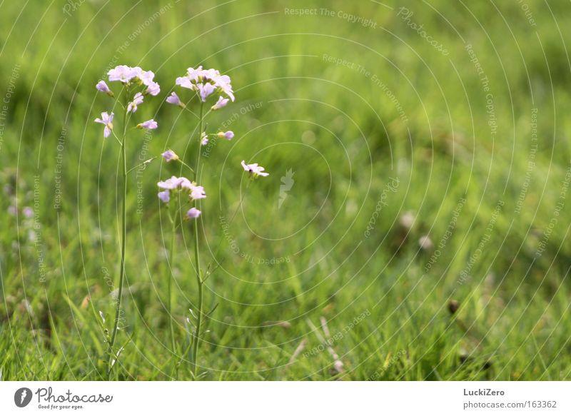 Familienausflug ins Grüne Blume Wiese grün rosa zart Frühling frisch Schönes Wetter Sommer Blüte Gras Wiesen-Schaumkraut Pflanze Natur Unschärfe