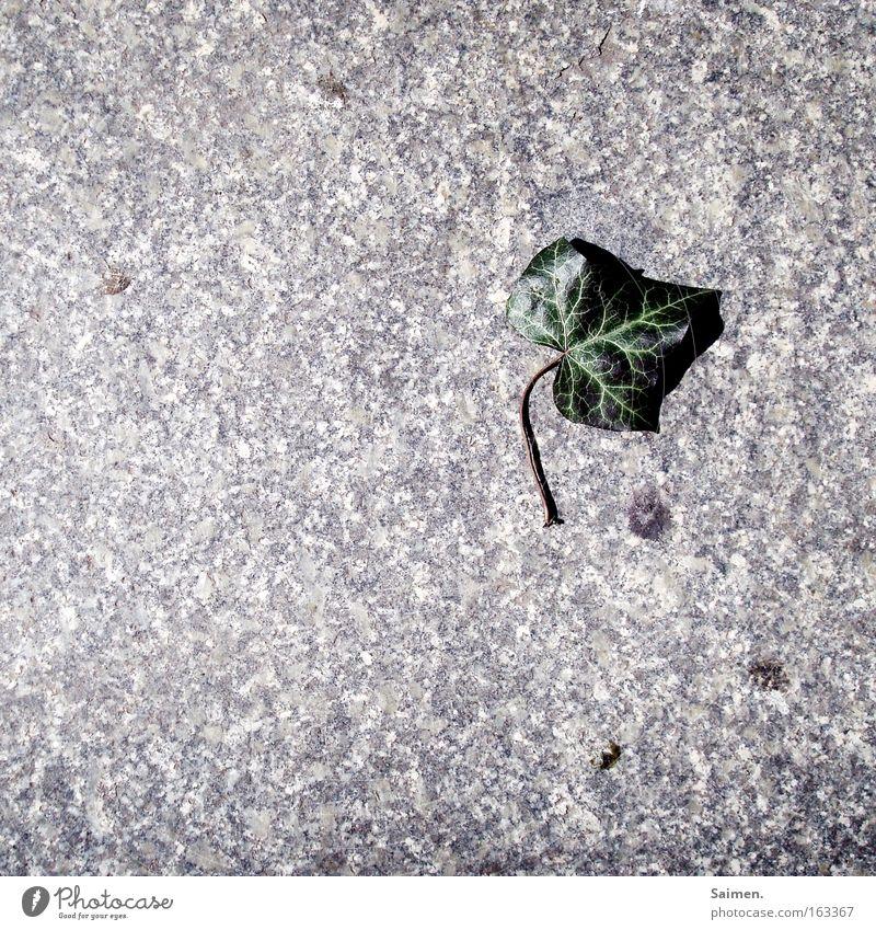 Efeu Natur grün Pflanze Blatt Einsamkeit Tod Frühling Stein Vergänglichkeit Schwäche Pflastersteine Mineralien