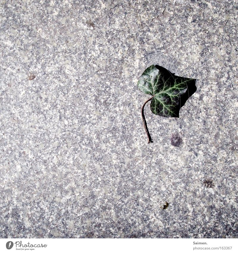 Efeu Schatten Kontrast Natur Pflanze Frühling Blatt Stein grün Tod Einsamkeit Schwäche Vergänglichkeit Pflastersteine Mineralien