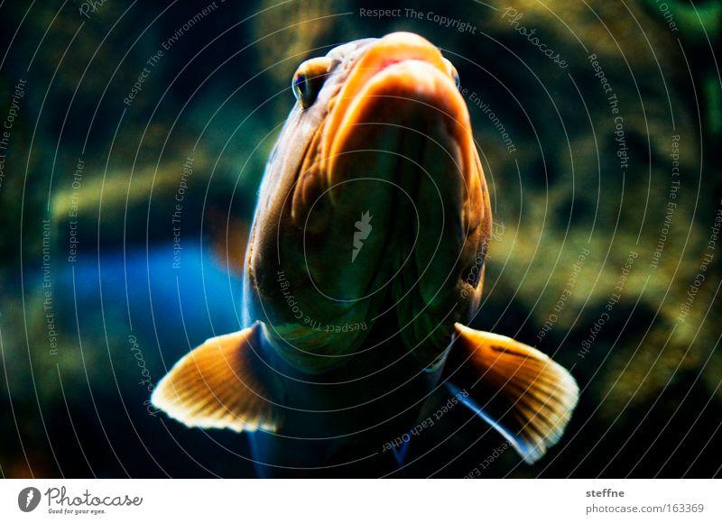 Ich riskier ne dicke Lippe! Fisch Maul Lippen Flosse orange Aquarium Barsch Appetit & Hunger maritim See Meer