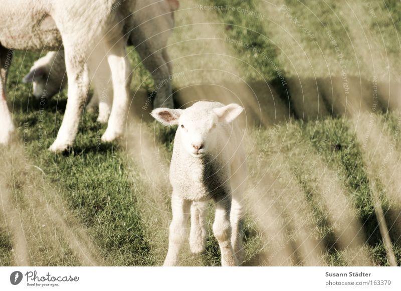 verspätetet Osterlamm Lamm Lammfleisch Schaf meckern Ziegen Wiese Fressen Blick dumm klein Herde Deich Nordsee Nordseeküste Meer Frühling Wolle warten weich