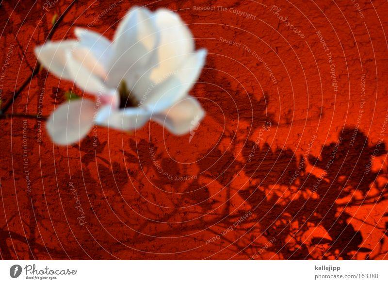 ich mag nolien Magnoliengewächse Blüte Baum Kirschblüten Schatten Ast Wand rot weiß zart Frühling Romantik Sonnenlicht Kitsch Wachstum