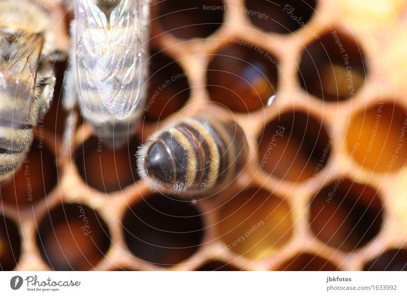 Honigernte Natur Gesunde Ernährung Tier Tierjunges Umwelt Gesundheit Glück Lebensmittel süß Landwirtschaft Ernte Gesäß Biene nachhaltig Hinterteil
