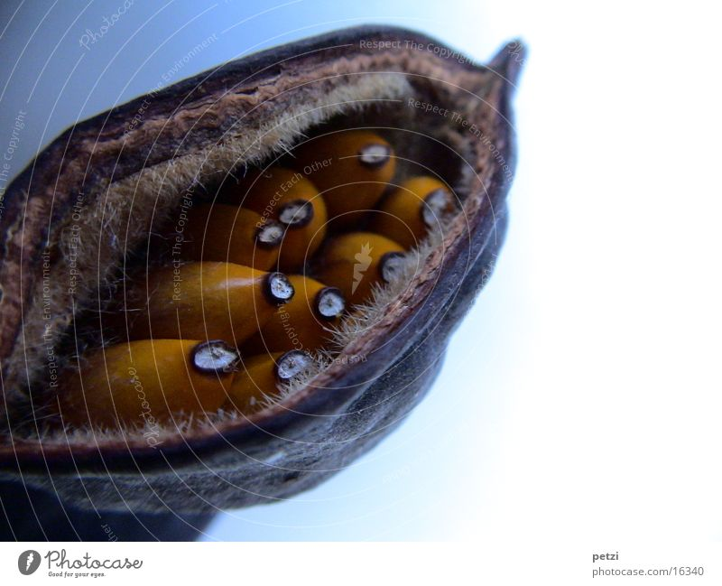 Samenkapsel weiß braun orange Frucht Riss Schalen & Schüsseln hart geplatzt Schote
