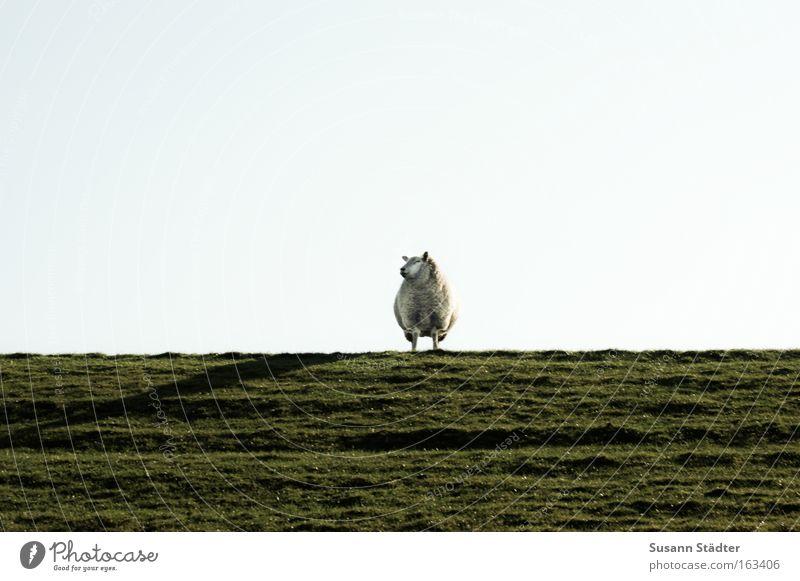 Deichschaf Meer Wiese Frühling warten genießen weich Nordsee Säugetier Fressen Schaf Pullover Wolle Herde Lamm Deich stricken