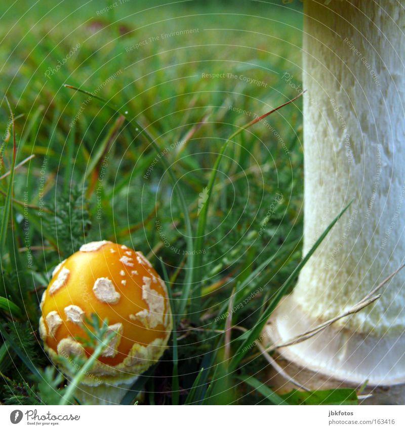 red Fungie grün rot Wiese Herbst Garten natürlich Lebensmittel Ernährung einzigartig Gemüse Gastronomie lang Stengel Bioprodukte Abendessen Pilz
