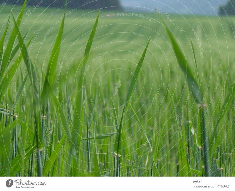 Getreidefeld im Frühling Feld Halm grün unreif Unschärfe