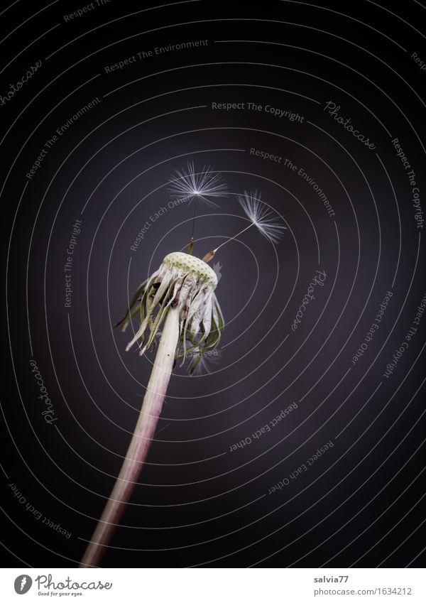 Abflugbereit Natur Frühling Pflanze Blume Blüte Wildpflanze taraxacum Löwenzahn Samen Wiese Blühend fliegen Wachstum warten braun grau schwarz weiß Leichtigkeit