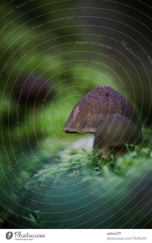 Pilzsaison ist eröffnet Umwelt Natur Pflanze Erde Sommer Herbst Moos Wald braun grün Pilzhut Waldboden sprießen Farbfoto Gedeckte Farben Außenaufnahme