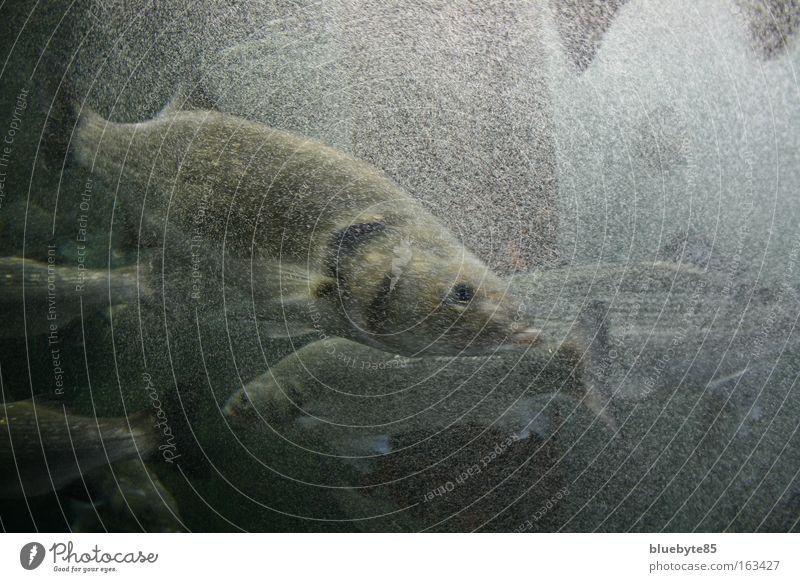 fisch chaos Angeln Meer Tier Urelemente Wasser Wellen Wildtier Fisch Tiergesicht Schuppen Aquarium Tiergruppe Schwarm tauchen dunkel authentisch Flüssigkeit