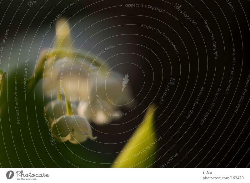 Maiglöckchen im April Natur weiß grün Erholung Frühling Zufriedenheit Dekoration & Verzierung Blühend zart Wissenschaften Wohlgefühl Duft Rauschmittel harmonisch Gartenarbeit Sinnesorgane