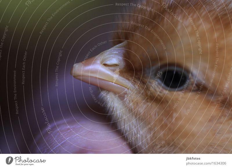 Eintagsküken Lebensmittel Fleisch Ernährung Umwelt Natur Tier Haustier Nutztier Vogel Tiergesicht Flügel Haushuhn Hahn 1 Tierjunges ästhetisch authentisch