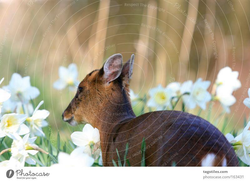MUNTIACUS REEVESI REEVESI Freiheit Frieden Asien China Säugetier hart Hirsche Reh Chinese Bambi
