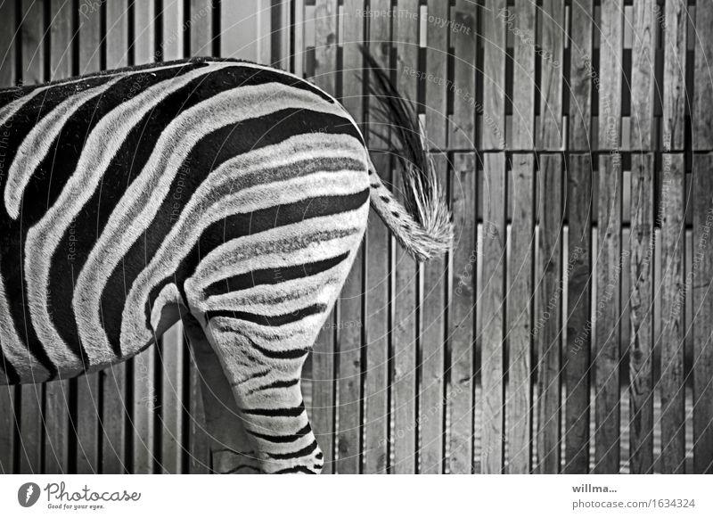 Ein halbes Zebra auf Streife Wildtier Zoo schwarz weiß gestreift Streifen Krypsis Tarnung trendy Somatolyse Anpassung Hinterteil Bretterzaun Schwarzweißfoto
