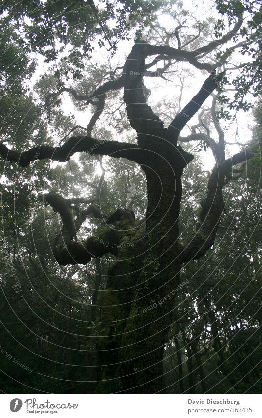 Märchenwald Natur grün weiß Baum Pflanze schwarz Wald dunkel Nebel groß Ast Urwald Baumstamm Nebelwald Naturwuchs urwüchsig