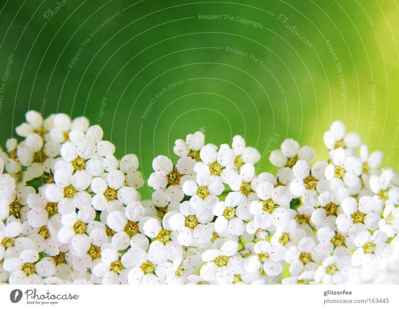 sea of flowers Blüte Blume weiß Borte gerade Botanik Pflanze Frühling Hintergrundbild Dekoration & Verzierung grün gelb Pastellton Muttertag