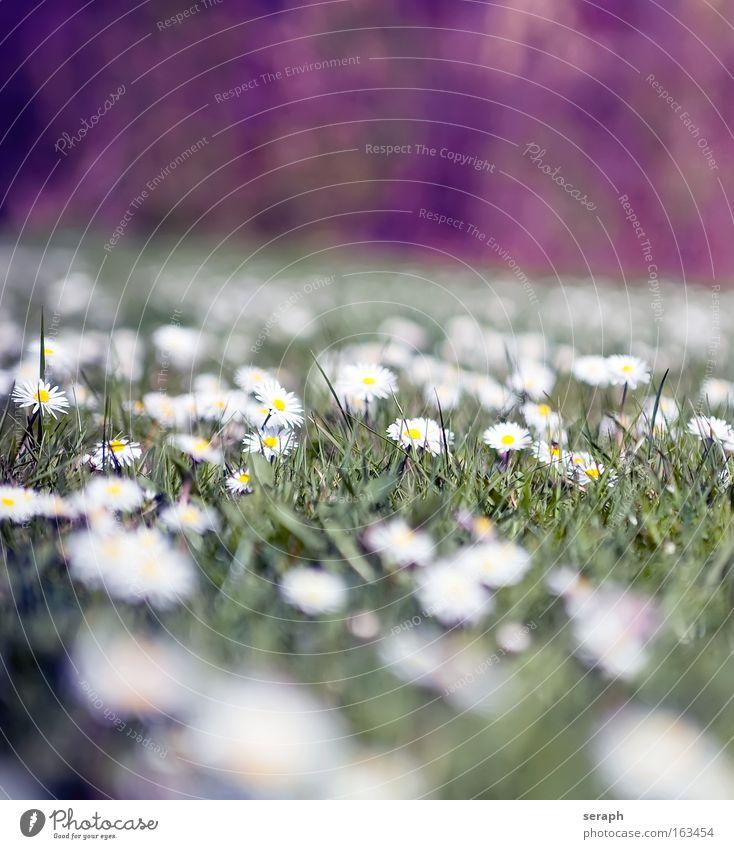 Blumenland Gras Blüte Blühend Blütenpflanze Pflanze Halm Botanik Gänseblümchen Gefühle Blumenwiese summer grass blooms flowering bloom blossom pflanzlich