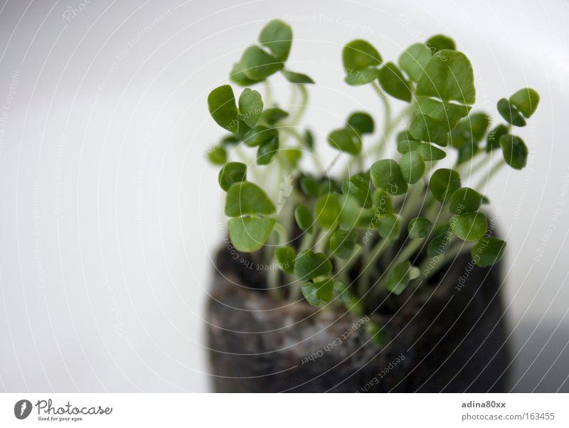 Basilikum Farbfoto Außenaufnahme Nahaufnahme Detailaufnahme Menschenleer Textfreiraum links Textfreiraum unten Hintergrund neutral Morgen Unschärfe
