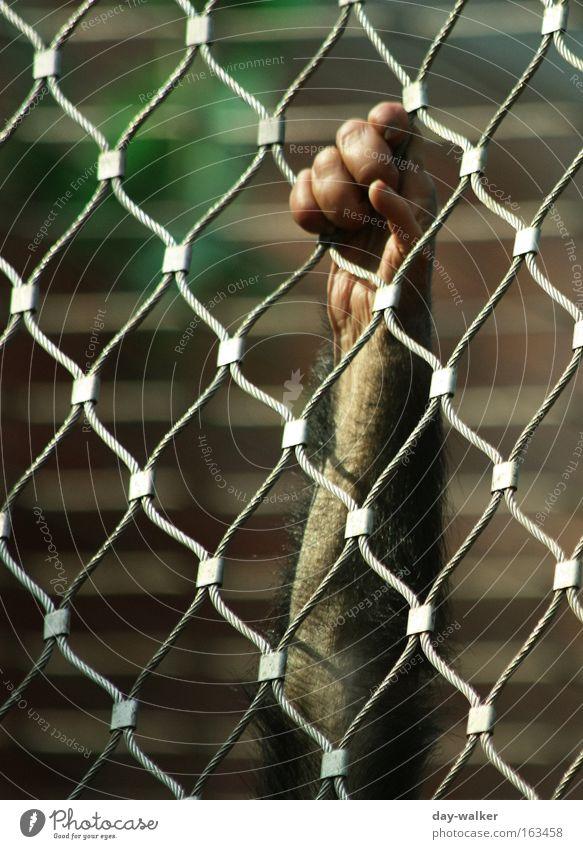 Wunsch nach Freiheit Hand Tier Arme Finger Trauer Zoo Verzweiflung Zaun gefangen Säugetier Draht Affen Schlaufe Lebensraum Menschenaffen Tierhaltung