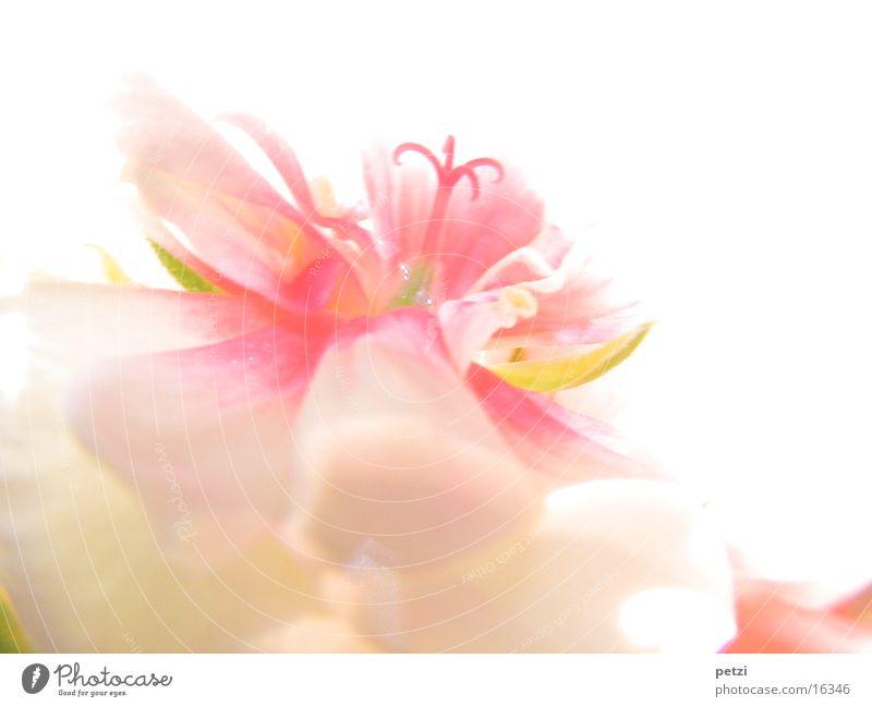 Zarte Blüte rosa weiß zart fein Lichteinfall Blüttenblätter Mitte gelbrün Farbfoto mehrfarbig Außenaufnahme Makroaufnahme Textfreiraum rechts Textfreiraum oben