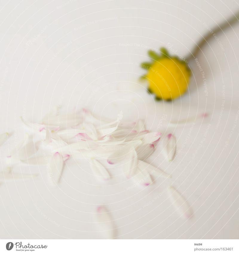 ... er liebt mich Natur weiß Pflanze Blume Gefühle klein Blüte Stimmung Hintergrundbild natürlich Hoffnung Romantik zart Lebensfreude Gänseblümchen Partner