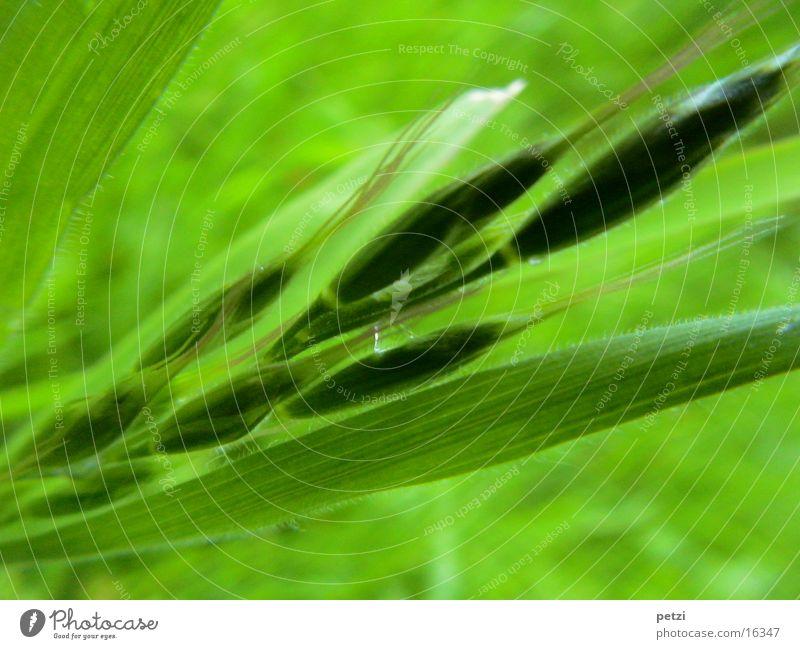 Herrlich, dieses grün... Halm Ähren Blatt Grünschattierung Samen Granen Makroaufnahme