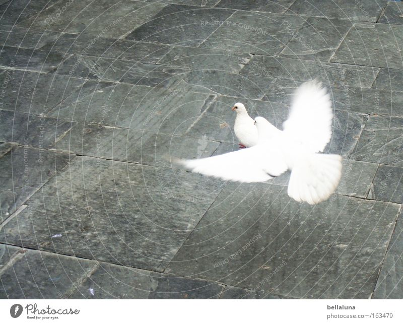 Ich flieg auf dich! weiß Liebe Vogel Flügel Frieden Bürgersteig Kopfsteinpflaster Taube Wege & Pfade Pflastersteine unschuldig Reifenspuren flattern Tier