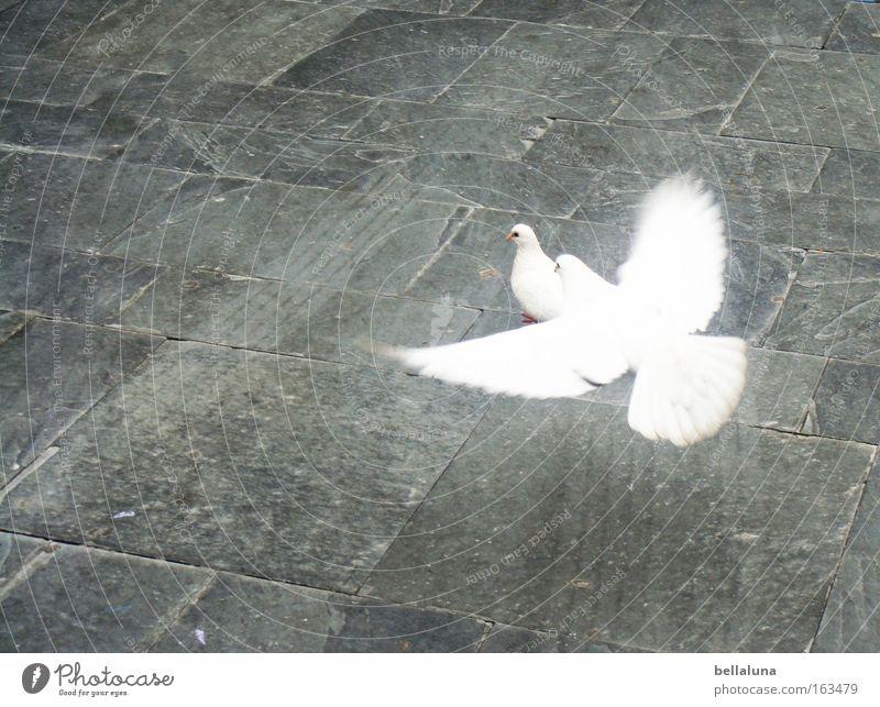 Ich flieg auf dich! weiß Liebe Vogel Flügel Frieden Bürgersteig Kopfsteinpflaster Taube Wege & Pfade Pflastersteine unschuldig Reifenspuren flattern Tier Friedenstaube