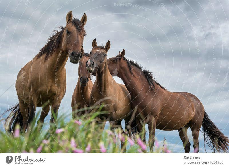 Neugierde II Natur Pflanze Tier Gewitterwolken schlechtes Wetter Gras bunte Blumen Wiese Steppe Haustier Nutztier Pferd 4 Tiergruppe beobachten Kommunizieren