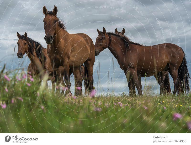 Neugierde Natur Pflanze Tier Gewitterwolken schlechtes Wetter Gras bunte Blumen Wiese Steppe Nutztier Pferd 4 Tiergruppe beobachten Kommunizieren Blick stehen