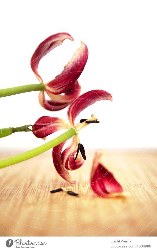 Welken Blume Tulpe welk verrotten Blüte Blütenstempel grün Holz alt Verwesung Blütenblatt blütenblattartig Unschärfe fokussieren mehrfarbig knallig Verfall